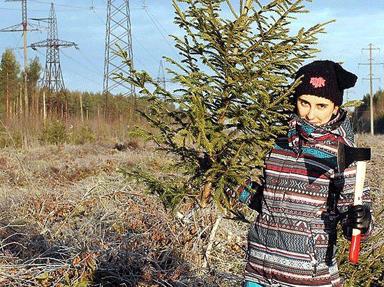 Как корреспонденты «МК» в Питере» добывали в лесу новогодние деревья