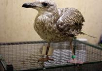Московские ветеринары закрепили на сломанной лапе чайки аппарат Илизарова